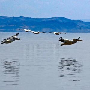 Ethiopia rift valley pellican flight