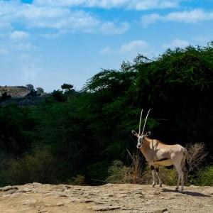 oryx awash ethiopia