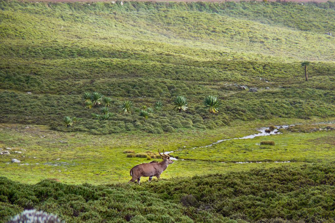 Sanetti plateaux nyala bale etiopia